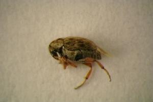 (Bruchidius imbricornis - GBOL13776)  @11 [ ] Unspecified (default): All Rights Reserved  Unspecified Unspecified
