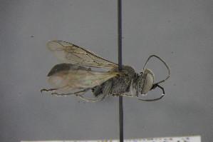 (Tachysphex filicornis - GBOL15180)  @11 [ ] Unspecified (default): All Rights Reserved  Unspecified Unspecified