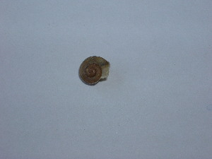(Chilostoma - GBOLMol25)  @11 [ ] Unspecified (default): All Rights Reserved  Unspecified Unspecified
