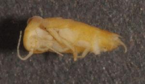 (Nicoletiidae - GBOL02714)  @11 [ ] CreativeCommons - Attribution Non-Commercial Share-Alike (2011) Joerg Spelda SNSB, Zoologische Staatssammlung Muenchen