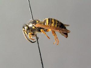(Dolichovespula adulterina - BC ZSM HYM 05016)  @14 [ ] by-nc-sa (2014) Stefan Schmidt SNSB, Zoologische Staatssammlung Muenchen
