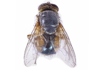 (Calliphora centralis - gvcT08802)  @11 [ ] Creative Commons Attribution-NonCommercial 3.0 Unported license. (2017) Graeme V. Cocks Unspecified