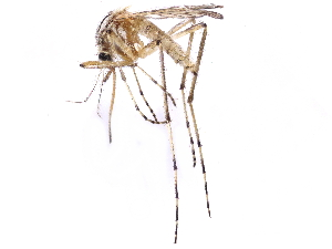 (Aedes vittiger - gvcT09533)  @11 [ ] Creative Commons Attribution-NonCommercial 3.0 Unported license. (2017) Graeme V. Cocks Unspecified