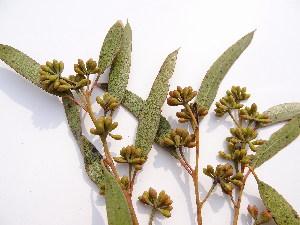 (Eucalyptus tereticornis - GCUL-FDGK-483)  @11 [ ] CreativeCommons - Attribution Non-Commercial Share-Alike (2013) Saadullah Khan DR.SULTAN HERBARIUM, GC University Lahore
