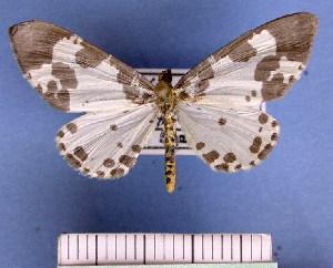 (Desmobathrinae - BC ZSM Lep 11795)  @16 [ ] Copyright (2010) Axel Hausmann/Bavarian State Collection of Zoology (ZSM) SNSB, Zoologische Staatssammlung Muenchen