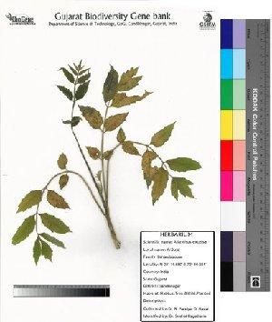 (Ailanthus excelsa - DNAFR000008)  @11 [ ] Copyright (2012) Gujarat Biodiversity Gene Bank Gujarat Biodiversity Gene Bank,Gujarat State Biotechnology Mission