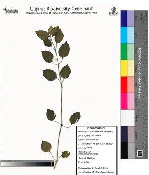 (Asystasia - DNAFR000036)  @14 [ ] Copyright (2011) Gujarat Biodiversity Gene Bank Gujarat Biodiversity Gene Bank