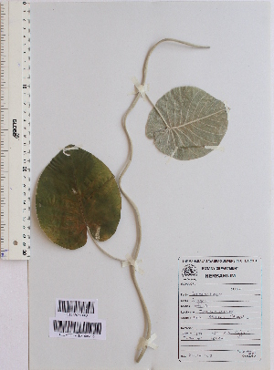 (Argyreia nervosa - DNAFR001550)  @11 [ ] Copyright (2016) Gujarat Biodiversity Gene Bank, GSBTM, DST, GoG Gujarat Biodiversity Gene Bank, GSBTM, DST, GoG