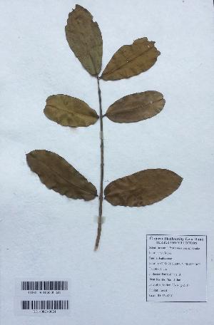 (Ixora - DNAFR001141)  @11 [ ] Copyrights (2015) Gujarat Biodiversity Gene Bank, GSBTM, DST, GoG Gujarat Biodiversity Gene Bank, GSBTM, DST, GoG