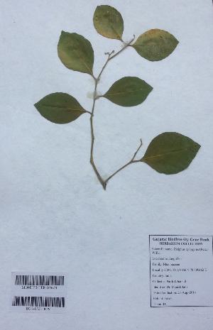 (Ziziphus xylopyrus - DNAFR001143)  @11 [ ] Copyrights (2015) Gujarat Biodiversity Gene Bank, GSBTM, DST, GoG Gujarat Biodiversity Gene Bank, GSBTM, DST, GoG