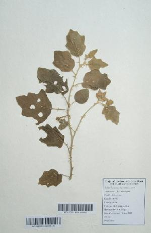 (Solanum incanum - DNAFR000674)  @11 [ ] Copyright (2014) Gujarat Biodiversity Gene Bank, GSBTM, DST, GoG Gujarat Biodiversity Gene Bank, GSBTM, DST, GoG