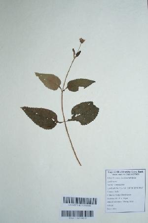 (Lantana salvifolia - DNAFR000714)  @11 [ ] Copyright (2014) Gujarat Biodiversity Gene Bank, GSBTM, DST, GoG Gujarat Biodiversity Gene Bank, GSBTM, DST, GoG