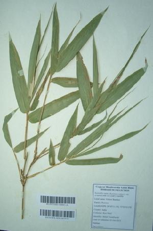 (Bambusa vulgaris var. striata - DNAFR000273)  @11 [ ] Copyright (2014) Gujarat Biodiversity Gene Bank, GSBTM, DST, GoG Gujarat Biodiversity Gene Bank, GSBTM, DST, GoG
