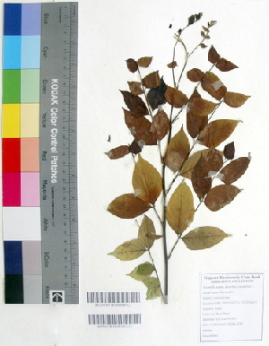 (Averrhoa - DNAFR000336)  @11 [ ] Copyright (2014) Gujarat Biodiversity Gene Bank, GSBTM, DST, GoG Gujarat Biodiversity Gene Bank, GSBTM, DST, GoG