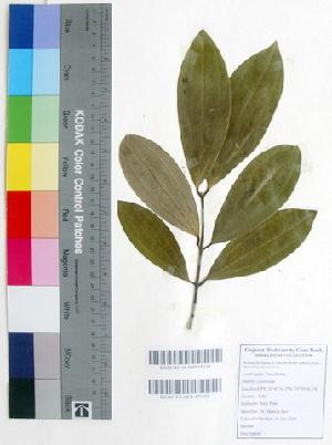 (Cinnamomum tamala - DNAFR000356)  @11 [ ] Copyright (2014) Gujarat Biodiversity Gene Bank, GSBTM, DST, GoG Gujarat Biodiversity Gene Bank, GSBTM, DST, GoG