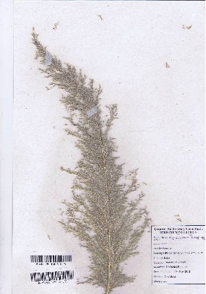 (Saccharum - DNAFR000898)  @11 [ ] Copyrights  Gujarat Biodiversity Gene Bank, GSBTM, DST, GoG Gujarat Biodiversity Gene Bank, GSBTM, DST, GoG