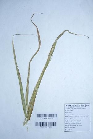(Spodiopogon - DNAFR000323)  @11 [ ] Unspecified (default): All Rights Reserved  Gujarat Biodiversity Gene Bank, GSBTM, DST, GoG Gujarat Biodiversity Gene Bank, GSBTM, DST, GoG