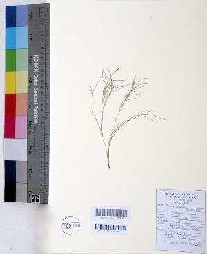 (Zoysia - DNAFR000436)  @11 [ ] Copyright (2014) Gujarat Biodiversity Gene Bank, GSBTM, DST, GoG Gujarat Biodiversity Gene Bank, GSBTM, DST, GoG