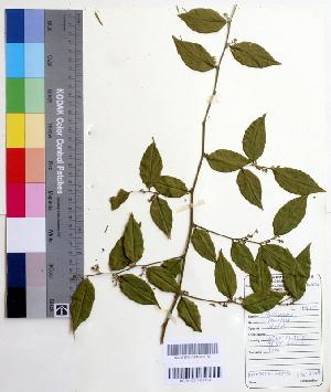 (Cansjera - DNAFR000505)  @11 [ ] Copyright (2014) Gujarat Biodiversity Gene Bank, GSBTM, DST, GoG Gujarat Biodiversity Gene Bank, GSBTM, DST, GoG