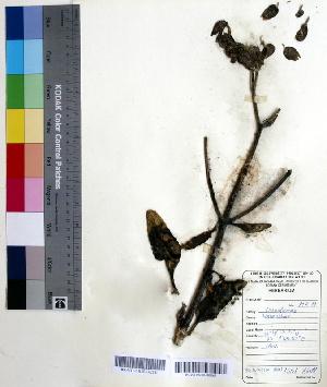 (Kalanchoe pinnata - DNAFR000534)  @11 [ ] Copyright (2014) Gujarat Biodiversity Gene Bank, GSBTM, DST, GoG Gujarat Biodiversity Gene Bank, GSBTM, DST, GoG
