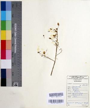 (Moringaceae - DNAFR000539)  @11 [ ] Copyright (2014) Gujarat Biodiversity Gene Bank, GSBTM, DST, GoG Gujarat Biodiversity Gene Bank, GSBTM, DST, GoG