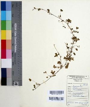 (Oxalis corniculata - DNAFR000540)  @11 [ ] Copyright (2014) Gujarat Biodiversity Gene Bank, GSBTM, DST, GoG Gujarat Biodiversity Gene Bank, GSBTM, DST, GoG