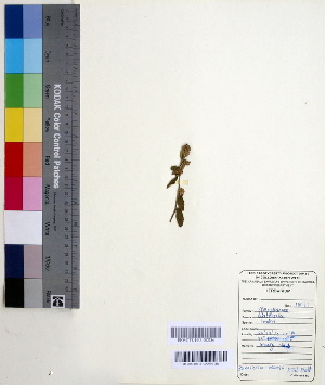 (Waltheria - DNAFR000553)  @11 [ ] Copyright (2014) Gujarat Biodiversity Gene Bank, GSBTM, DST, GoG Gujarat Biodiversity Gene Bank, GSBTM, DST, GoG