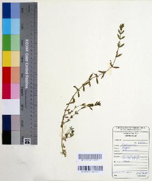 (Elatinaceae - DNAFR000560)  @11 [ ] Copyright (2014) Gujarat Biodiversity Gene Bank, GSBTM, DST, GoG Gujarat Biodiversity Gene Bank, GSBTM, DST, GoG