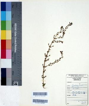 (Stemodia - DNAFR000422)  @11 [ ] Copyright (2014) Gujarat Biodiversity Gene Bank, GSBTM, DST, GoG Gujarat Biodiversity Gene Bank, GSBTM, DST, GoG