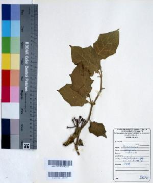 (Solanum indicum - DNAFR000430)  @11 [ ] Copyright (2014) Gujarat Biodiversity Gene Bank, GSBTM, DST, GoG Gujarat Biodiversity Gene Bank, GSBTM, DST, GoG