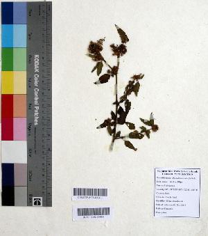 (Melochia - DNAFR000574)  @11 [ ] Copyright (2014) Gujarat Biodiversity Gene Bank, GSBTM, DST, GoG Gujarat Biodiversity Gene Bank, GSBTM, DST, GoG