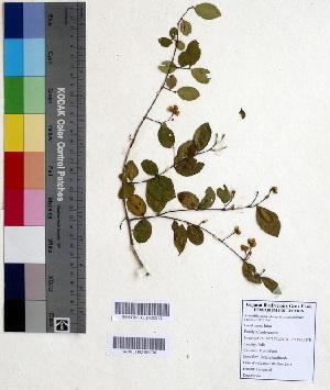 (Anogeissus - DNAFR000595)  @11 [ ] Copyright (2014) Gujarat Biodiversity Gene Bank, GSBTM, DST, GoG Gujarat Biodiversity Gene Bank, GSBTM, DST, GoG