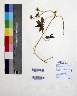 (Merremia dissecta - DNAFR000610)  @11 [ ] Copyright (2014) Gujarat Biodiversity Gene Bank, GSBTM, DST, GoG Gujarat Biodiversity Gene Bank, GSBTM, DST, GoG