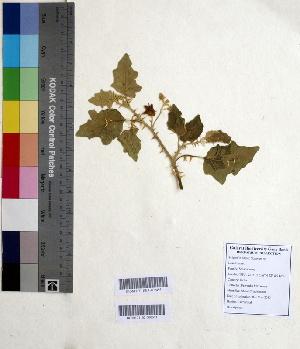 (Solanum sp - DNAFR000623)  @11 [ ] Copyright (2014) Gujarat Biodiversity Gene Bank, GSBTM, DST, GoG Gujarat Biodiversity Gene Bank, GSBTM, DST, GoG