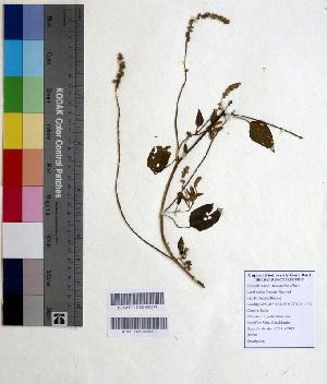 (Amaranthus albus - DNAFR000636)  @11 [ ] Copyright (2014) Gujarat Biodiversity Gene Bank, GSBTM, DST, GoG Gujarat Biodiversity Gene Bank, GSBTM, DST, GoG