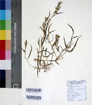 (Spodiopogon - DNAFR000644)  @11 [ ] Copyright (2014) Gujarat Biodiversity Gene Bank, GSBTM, DST, GoG Gujarat Biodiversity Gene Bank, GSBTM, DST, GoG