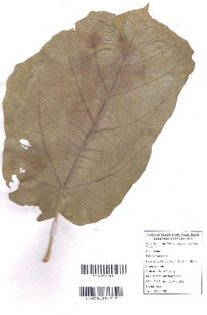 (Pterospermum - DNAFR000731)  @11 [ ] Copyrights (2015) Gujarat Biodiversity Gene Bank, GSBTM, DST, GoG Gujarat Biodiversity Gene Bank, GSBTM, DST, GoG