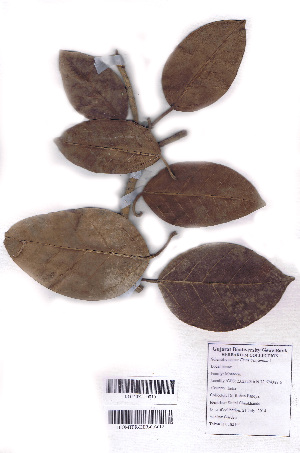 (Ficus benjamina - DNAFR000735)  @11 [ ] Copyrights (2015) Gujarat Biodiversity Gene Bank, GSBTM, DST, GoG Gujarat Biodiversity Gene Bank, GSBTM, DST, GoG