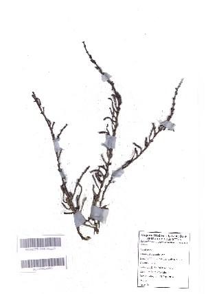 (Halosarcia - DNAFR001003)  @11 [ ] Copyrights (2015) Gujarat Biodiversity Gene Bank, GSBTM, DST, GoG Gujarat Biodiversity Gene Bank, GSBTM, DST, GoG