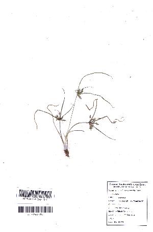 (Pycreus - DNAFR001090)  @11 [ ] Copyright (2015) Gujarat Biodiversity Gene Bank, GSBTM, DST, GoG Gujarat Biodiversity Gene Bank, GSBTM, DST, GoG