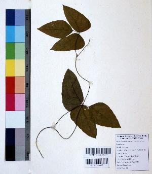 (Mucuna - DNAFR000807)  @11 [ ] Copyright (2015) Gujarat Biodiversity Gene Bank Gujarat Biodiversity Gene Bank, GSBTM, DST, GoG, India