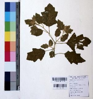 (Solanum incanum - DNAFR000808)  @11 [ ] Copyrights (2015) Gujarat Biodiversity Gene Bank Gujarat Biodiversity Gene Bank, GSBTM, DST, GoG, India