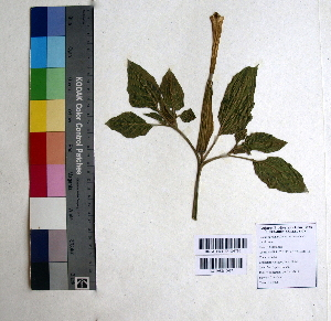 (Datura stramonium - DNAFR000830)  @11 [ ] Copyrights (2015) Gujarat Biodiversity Gene Bank Gujarat Biodiversity Gene Bank, GSBTM, DST, GoG, India