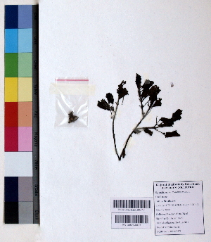 (Pedaliaceae - DNAFR000831)  @11 [ ] Copyright (2015) Gujarat Biodiversity Gene Bank Gujarat Biodiversity Gene Bank, GSBTM, DST, GoG, India