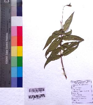 (Woodfordia - DNAFR001195)  @11 [ ] Copyright (2015) Gujarat Biodiversity Gene Bank, GSBTM, DST, GoG Gujarat Biodiversity Gene Bank, GSBTM, DST, GoG