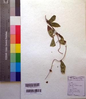 (Hemidesmus - DNAFR001022)  @11 [ ] Copyrights (2015) Gujarat Biodiversity Gene Bank Gujarat Biodiversity Gene Bank