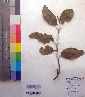 (Loranthus - DNAFR001026)  @11 [ ] Copyrights (2015) Gujarat Biodiversity Gene Bank, GSBTM, DST, GoG Gujarat Biodiversity Gene Bank, GSBTM, DST, GoG