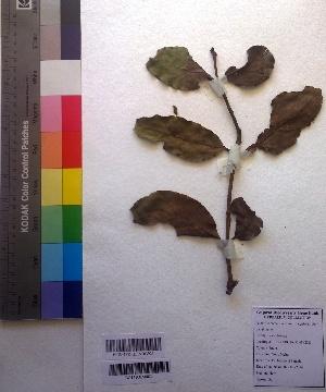 (Loranthus - DNAFR001026)  @11 [ ] Copyrights (2015) Gujarat Biodiversity Gene Bank Gujarat Biodiversity Gene Bank