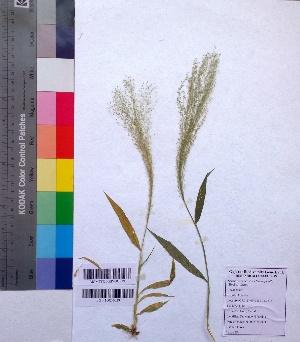 (Arundinella - DNAFR001030)  @11 [ ] Copyrights (2015) Gujarat Biodiversity Gene Bank Gujarat Biodiversity Gene Bank