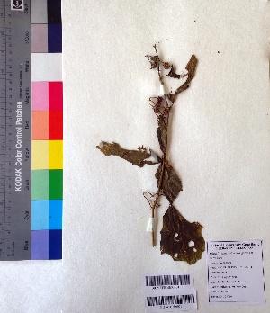 (Solanum anguivi - DNAFR001014)  @11 [ ] Copyrights (2015) Gujarat Biodiversity Gene Bank Gujarat Biodiversity Gene Bank